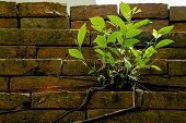 Small Green Tree Inserted On The Old Brick Wall. poster