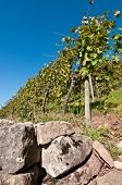 Vineyard With Wall