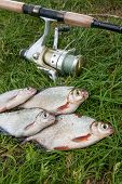 Pile Of The White Bream Or Silver Fish And White-eye Bream On The Natural Background. . poster
