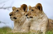 Lion couple on grass