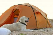 The Dog Is Lying Near Tent.camping Tent In Wilderness By The Seaside. Tent. Dog. Golden Retriever Gu poster