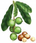Folhas e frutos de macadâmia. Ilustração do vetor sobre um fundo branco.