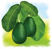 stock photo of avocado tree  - Avocados on a branch with leaves - JPG