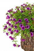 Petunia Surfinia flores em tronco de árvore sobre fundo branco