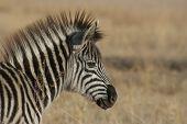 Zebra In The Field.