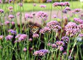 Boston Butterfly