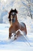 Horse running in the woods in winter