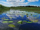 pic of sand lilies  - on river blue sky and clouds on coast grows bulrush - JPG