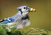foto of craw  - Blue jay on pine branches - JPG