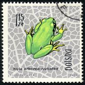European Tree Frog