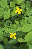 Celandine Plant Blooms  Flora  Flora Garden Green poster