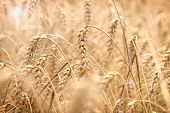 Wheat Field, Field Of Grain With Lens Flare-sun Flare, Grain Field In The Sun, Wheat Field Bathed In poster