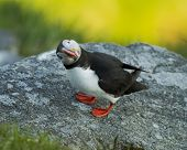 Puffin seen on Runde Island