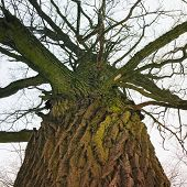 Tree Trunk, View From Below. The Trunk Of An Old Oak Tree Closeup. View From Below. poster