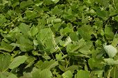 stock photo of scourge  - Kudzu the scourge of the southern United States - JPG