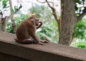 Wild Monkey Macaque On Monkey Hill, Phuket. poster