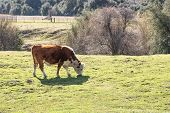 Young Brown Cow Out In Free Range Green Pasture, Peaceful Rural Scene, Farmland Grazing poster
