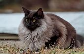 A Handsome Black Smoke Norwegian Forest Cat Male With Beautiful Brown Eyes Outdoors poster
