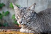 Striped Cat Lay On The Street, Close Up Thai Cat, Relax Cat poster