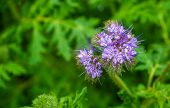 Macro Closeup Of Purple Tansy Flowers, Tropical Plant Specie From America, Nature Background poster