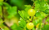Gooseberries On A Gooseberry Plant In Closeup, Popular Fruiting Plant Specie From Europe And Africa poster