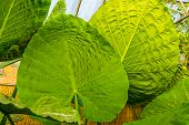 Closeup Of The Big Leaves Of A Giant Taro Plant, Tropical Plant Specie From Australia poster