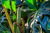 Closeup Of A Fruiting Swiss Cheese Plant, Popular Tropical Plant Specie From America With Edible Fru poster