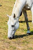 White Wild Horse On Meadow Idyllic Field. Agricultural Mammals Animals In Natural Environment. poster