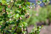 Bumblebee On Gooseberry Bush Flower Collecting Pollen And Nectar.. poster