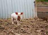 Domestic Pig Farming