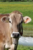 Swiss Cow with Bell