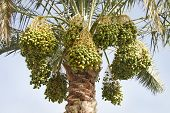 Beautiful Green dates hanging from the tree