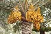Yellow dates clusters