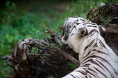 White Tiger Is An Individual Of The Bengal Tiger (panthera Tigris Tigris, Panthera Tigris Bengalensi poster