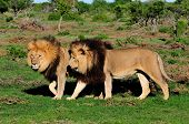 Two Kalahari Lions, Panthera Leo, In The Addo Elephant National Park
