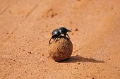 A Flightless Dung Beetle In The Addo Elephant National Park