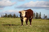 Young hereford bull in pasture