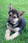 Cute german shepherd puppy
