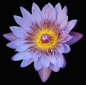 Purple Lillly