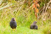 Flightless NZ bird Takahe adult and young chick