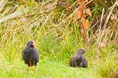 Nz flugunfähiger Vogel Südinseltakahe Erwachsene und junge Küken