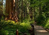 Boardwalk At North Grove Trail, Calaveras Big Trees State Park, California, Usa, Ain The Summer, Fea poster
