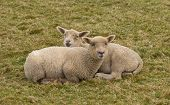 Two sheep cuddled up