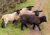 image of suffolk sheep  - Sheep with black face and legs and one black sheep - JPG
