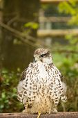 picture of goshawk  - Goshawk observing surrounds sitting on a fence - JPG