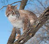 Bobcat (Lynx rufus) Looks From Tree Branch