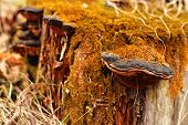 image of bracket-fungus  - Bracket fungus close - JPG