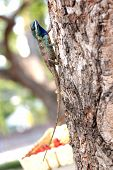 foto of tuatara  - The Picture chameleon on a Tree It looks relaxation - JPG