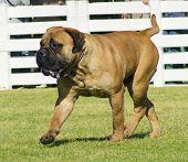 Bullmastiff-Hund