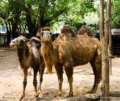 stock photo of hump day  - pair of two humped camels shedding hair at zoo - JPG